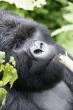 Gorille de montagne masculin Photo libre de droits