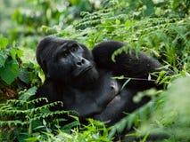 Gorille de montagne masculin dominant dans l'herbe l'ouganda Bwindi Forest National Park impénétrable photo stock