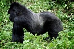 Gorille de montagne sauvage de silverback images libres de droits