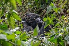 Gorille de montagne de Silverback mangeant dans la distance proche image stock
