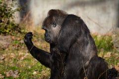 Gorille de plaine Photographie stock libre de droits