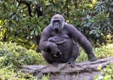 Gorille de plaine occidentale avec le bébé, Dallas Zoo photos stock
