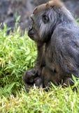 Gorille de plaine occidentale avec le bébé, Dallas Zoo photographie stock libre de droits