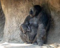Gorille de plaine occidentale avec le bébé, Dallas Zoo images libres de droits