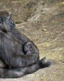 Gorille de plaine occidentale avec le bébé, Dallas Zoo photo stock