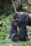 Gorille de plaine occidentale dans le zoo Photographie stock libre de droits