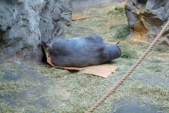 Gorille de plaine occidentale se trouvant sur la boîte de papier images stock