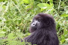 gorille de regard Image stock