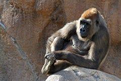 Gorille de repos image libre de droits