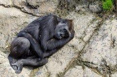 Gorille de silverback de sommeil photographie stock