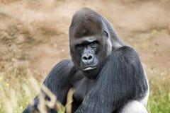 Gorille de terre en contre-bas Photographie stock