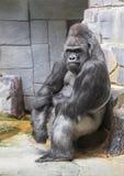 Gorille de terre en contre-bas occidentale image stock
