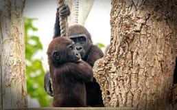 Gorille del bambino che appendono su una corda mentre abbracciando Immagine Stock