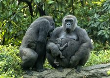 Gorille di pianura occidentale femminili con il bambino, Dallas Zoo immagine stock