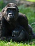 Gorille femelle photographie stock libre de droits