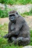 Gorille femelle photos libres de droits