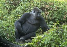 Gorille femelle appelé Shanta, Dallas Zoo image stock