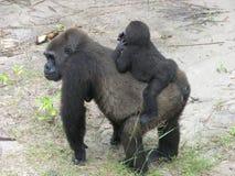 Gorille, Gabon, Afrique de l'ouest Image libre de droits