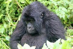 Gorille grincheux image libre de droits