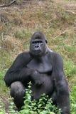 Gorille impressionnant Images libres de droits