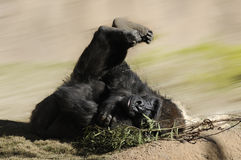 Gorille mâle Image stock