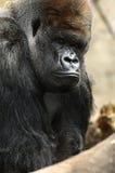 Gorille mâle de Silverback Photographie stock libre de droits