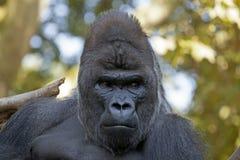 Gorille masculin Images libres de droits
