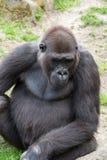 Gorille masculin de silverback, mammifère simple sur l'herbe Image stock