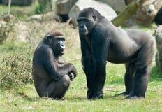 Gorille mâle Photographie stock libre de droits