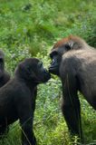Gorille nell'amore immagine stock