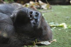 Gorille noir adulte fort images stock