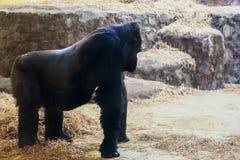 Gorille noir sur quatre jambes et bras images libres de droits