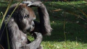 Gorille occidental banque de vidéos