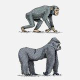 Gorille occidental ou de montagne et animaux sauvages tirés par la main et gravés de chimpanzé dans le vintage ou rétro style, Af Photos libres de droits
