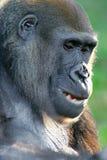 Gorille occidentali della pianura immagine stock