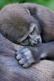 Gorille occidentali della pianura Immagini Stock
