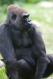 Gorille occidentali della pianura fotografia stock libera da diritti