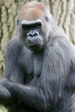 Gorille occidentali della pianura Fotografie Stock Libere da Diritti