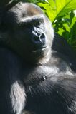 Gorille occidentali della pianura immagine stock libera da diritti