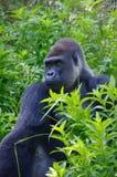 Gorille regardant fixement dans la jungle Photographie stock libre de droits