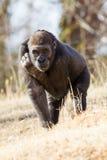 Gorille regardant fixement directement dans la lentille Photographie stock