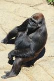 Gorille se reposant au soleil photographie stock