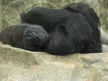 Gorille seul Enroulé-vers le haut photographie stock