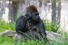 Gorille, singe, mâle de domination photographie stock