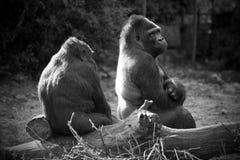 Gorilles images libres de droits