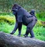 Gorilles Photographie stock libre de droits