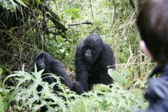 Gorilles de montagne Image libre de droits