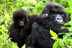 Gorilles de montagne : mère et chéri Photographie stock