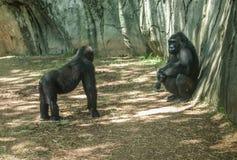 Gorilles de plaine occidentale au zoo d'OR image stock