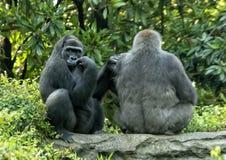 Gorilles de plaine occidentale femelles, Dallas Zoo image libre de droits